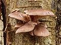 Gewone oesterzwam (Pleurotus ostreatus) 31-12-2020 (d.j.b.) 01.jpg