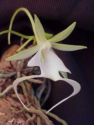 Dendrophylax lindenii - Image: Ghost Orchid