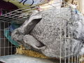Giant Chinchilla Rabbit.jpg
