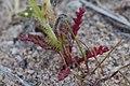 Gilia brecciarum neglecta 3164726.jpg