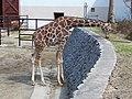 Giraffa camelopardalis reticulata in Akita Omoriyama Zoo.jpg