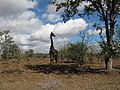 Giraffe in a field.jpg