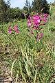 Gladiolus italicus pm02.jpg