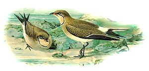 1842 in birding and ornithology - Image: Glareola nordmanni