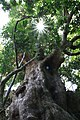 Glory (A veteran tree at Kenting High Coral Reef Forest) Gen-Chang HSU 031.jpg