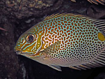 Gold - saddle Rabbitfish - Siganus guttatus; T...
