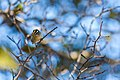 Golden-crowned kinglet (36888137413).jpg