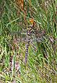 Golden-ringed dragonfly - geograph.org.uk - 1393178.jpg