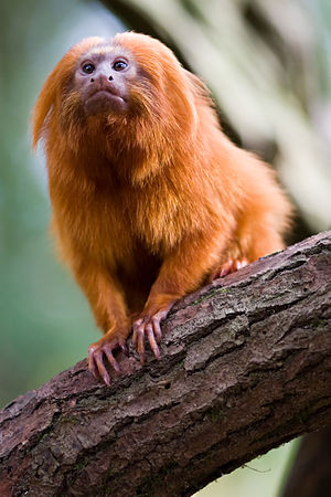 Golden lion tamarin - Image: Golden lion tamarin portrait 3
