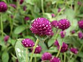 Gomphrena globosa from Lalbagh flower show Aug 2013 8119.JPG