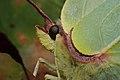 Gonepteryx rhamni (36732300881).jpg