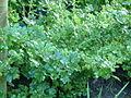 Gooseberry Ribes grossularia.jpg