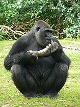 Gorilla gorilla gorilla7.jpg