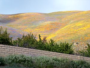 Gorman, California - Wildflowers near Gorman.