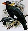 Gracula robusta - Annali del Museo civico di storia naturale di Genova (1886) (17788287234) (cropped).jpg