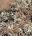 Graptopetalum amethystinum 4.jpg