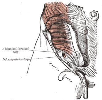 """Transversalis fascia - The abdominal inguinal ring. (""""Fascia transversalis"""" visible near center.)"""