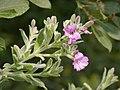 Great (Hairy) Willowherb - Epilobium hirsutum (44109882202).jpg