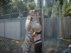 Cave Junction, Oregon - A white tiger and its handler at Great Cats World Park.