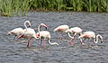 Greater Flamingo, Phoenicopterus roseus at Marievale Nature Reserve, Gauteng, South Afr (23293895562).jpg