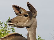 Greater kudu face.jpg