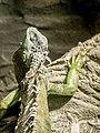 Green Iguana (19014078803).jpg