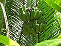 Green bananas on tree Vietnam.jpg