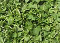 Green to cook Centella asiatica.jpg