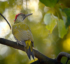 Green woodpecker (21426100182).jpg