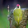 Green woodpecker (46718687515).jpg