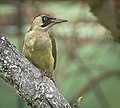 Green woodpecker (51190318602).jpg