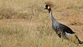 Grey-crowned Crane.jpg