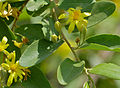 Grey Raisin (Grewia monticola) (11530261165).jpg
