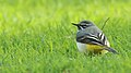 Grey Wagtail, unknown location 1.jpg