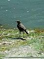 Grey Wagtail (Motacilla cinerea) (15700893940).jpg