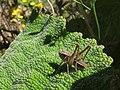 Grillo decticino - Tettigoniidae (15506830905).jpg