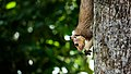 Grizzled Giant Squirrel in Sri Lanka 01.jpg