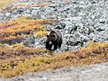 Grizzly! (48680613373).jpg