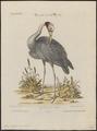 Grus antigone - 1700-1880 - Print - Iconographia Zoologica - Special Collections University of Amsterdam - UBA01 IZ17300117.tif