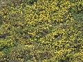 Gudauri Pflanzen 35.jpg