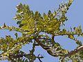 Guggilamu (Telugu- గుగ్గిలము) (4400555272).jpg
