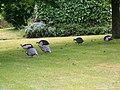 Guinea fowl at Field Farm House - geograph.org.uk - 846142.jpg