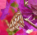 Gulf Fritillary. Agraulis vanillae. Heliconiidae - Flickr - gailhampshire (1).jpg