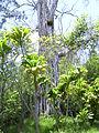Gum tree ? - RIMG0420 (8379281373).jpg