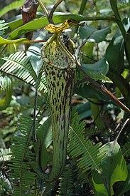 Gunung Murud logging road N. stenophylla 10.jpg