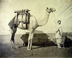 Dromadaire d'artillerie, Égypte
