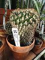 Gymnocalycium pflanzii - Lyman Plant House, Smith College - DSC04324.JPG