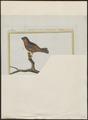 Gyrinorhynchus minutus - 1700-1880 - Print - Iconographia Zoologica - Special Collections University of Amsterdam - UBA01 IZ16000163.tif