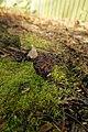 Gyromitra esculenta (39779311610).jpg