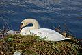 Höckerschwan mit Nest, Cygnus olor, nests with eggs 07.JPG